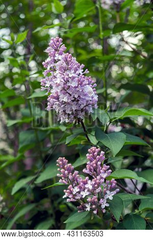 Blossoming Purple Lilacs. Blooming Lilac Bush With Tender Tiny Flowers. Spring Floral Background Wit