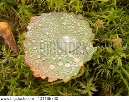 Aspen Leaf With Drops After Rain Close Up