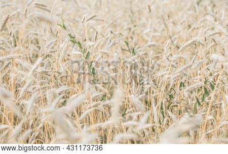 The Setting Sun Shines With Rays On The Ears Of Wheat. Backgrounds Of Field Wheat. The Setting Sun S