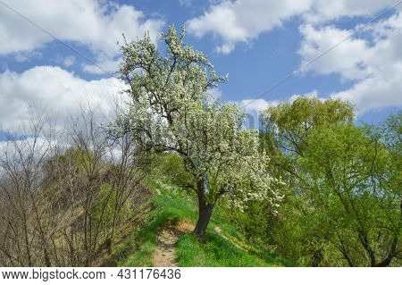 Flowering Pear Tree On The Hill. Spring, Flowering, Grass, Sky, Nature