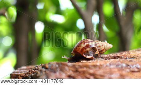 Terrestrial Gastropods, Broken Land Snail On Green Tree Background