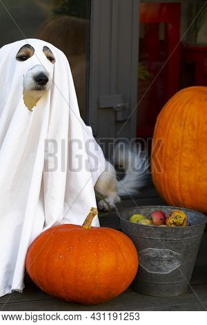 The Dog Sits Like A Ghost On The Steps With Pumpkins Jack, Scary And Creepy. Halloween Ghost, Vertic