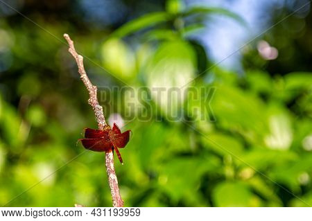 A Red Dragonfly Is Perching On A Fallen Tree Branch. The Red Dragonfly, Also Known As Red-veined Dar