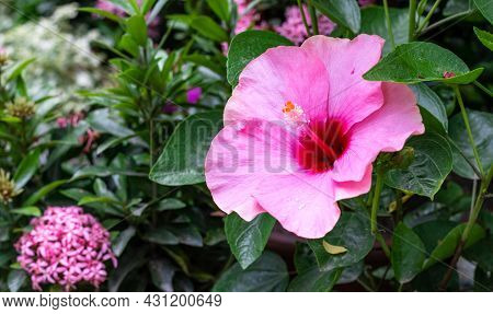 Fully Bloomed Pink And Red Hibiscus Rosa Sinensis Or Joba Flower In The Garden On The Tree