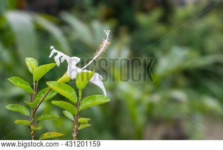 Blossomed White Hibiscus Rosa Sinensis Flower In The Garden