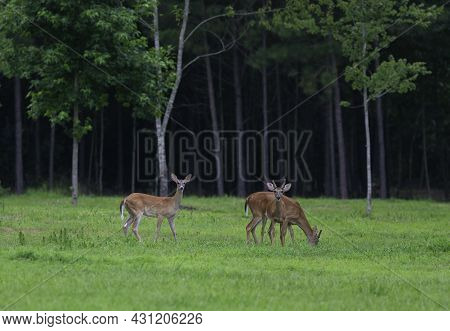 Pair Of Young Bucks And A Whitetail Deer Doe On A North Carolina Field