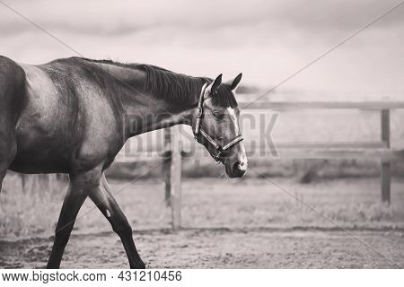 A Black-and-white Image Of A Beautiful Bay Horse With A Halter On Its Muzzle, Which Is Grazing In A