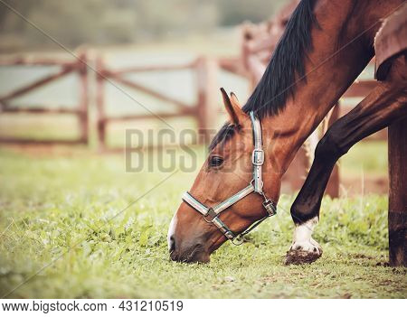A Beautiful Bay Horse With A Halter On Its Muzzle Is Standing In A Paddock On A Farm And Eating Gree