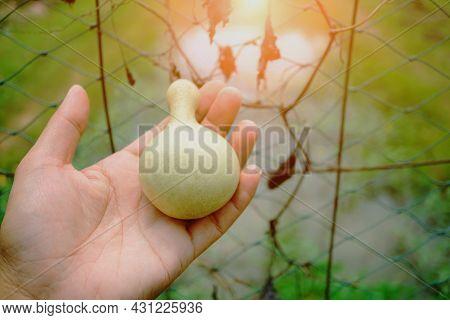 Light Green Gourds On A Gardener's Hand, Calabash Tree In The Garden. Calabash ( Lagenaria Sacraria
