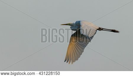 Great Egret (ardea Alba) In Flight Against Blue Sky, Podlasie Region, Poland, Europe