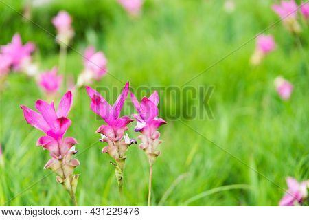 Close Up Siam Tulip Flower Thailand (krachai Flower)
