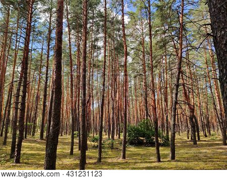 Forest Pine Glade Pine Trunks On A Summer Day