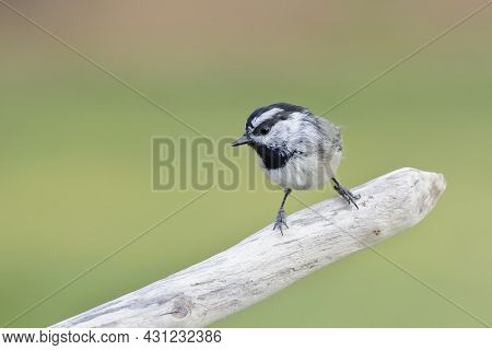 A Small Mountain Chickadee Is Perched On A Small Barren Branch In North Idaho.
