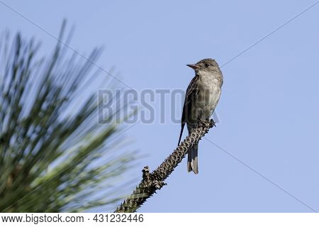 A Western Wood-pewee Is Perched On A Pine Branch In North Idaho.