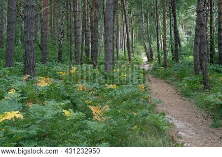 Narrow Path Through Forest From Jastarnia To Jurata In Northern Poland On Hel Peninsula. Pine Trees,