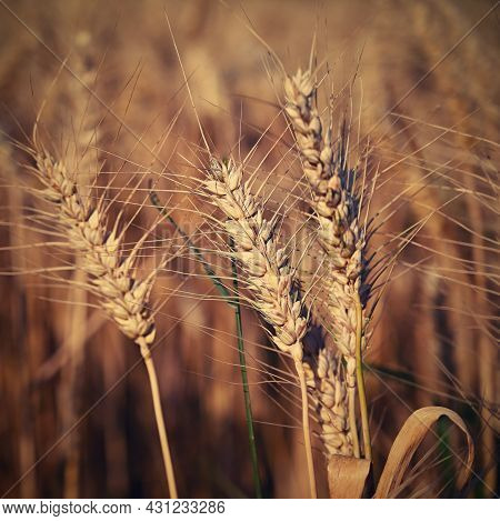 Beautiful Detail Of Corn Grown On Field. Background And Concept For Agriculture And Nature.