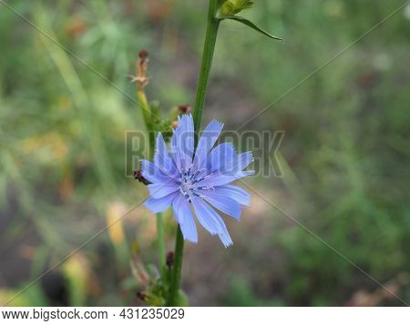 Flower Of Common Chicory, Cichorium Intybus, Wild Chicory, Chicory, Edible Plant, Nature, Food, Food
