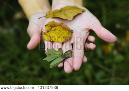 Hands Are Holding Leaves. Different Autumn Leaves On The Girl's Hand Close-up. Woman's Hands, Top Vi