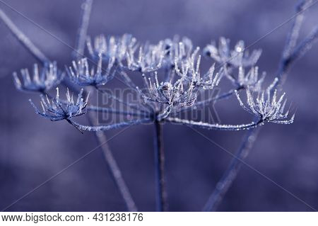 The Plant Covered With Frost. Angelica Flowers Covered With Ice And Snow In A Forest. Frozen, Dried