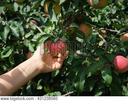 A Woman Picking An Apple From An Apple Tree. Close Up.