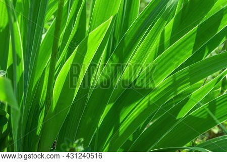 Large-leaved Decorative Grass Macro Photography.