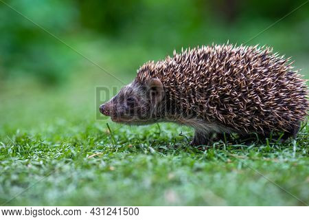 A Hungry Hedgehog Is Running In A Beautiful Meadow