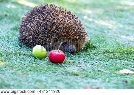 Hedgehog With Apples In A Green Meadow