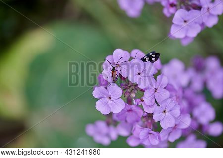 Beautiful Lilac Flowers And A Fly Sits On Them