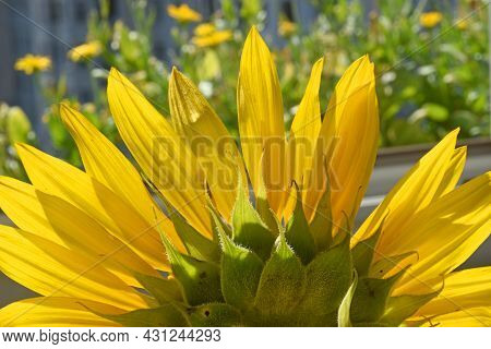 Close Up Of A Beautiful Blooming Sunflower With Yellow Petals And Green Tepals On A Natural Green Ba
