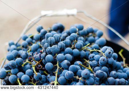 Defocus Bucket Of Blue Grape. Red Wine Grapes On Vine In Vineyard, Close-up. Winemaker Harvesting Gr