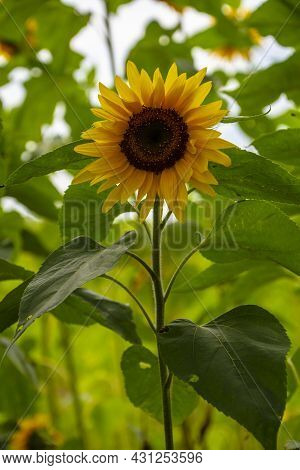 Sunflower Growing In A Field. Yellow And Dark Red Sunflower. Natural Sunflower Background.