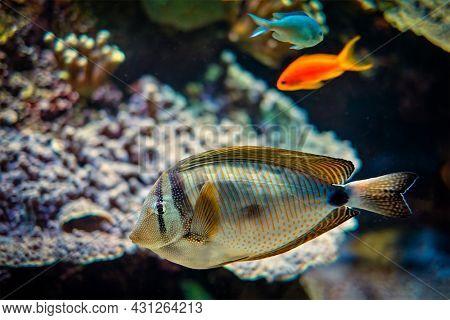 Red Sea sailfin tang Zebrasoma desjardinii fish underwater in sea with corals in background