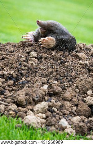Mole, Talpa europaea, making mole hill and damaging beautiful lawn and flower garden.