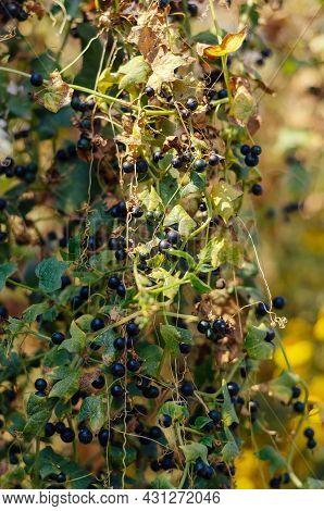 Solanum Nigrum, The European Black Nightshade Or Simply Black Nightshade. A Climbing Plant With Ripe