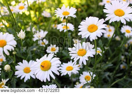 Chamomile Flower Field. An Insect Is Sitting On A Daisy, Pollinating The Daisy With Insects. Camomil