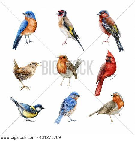 Bird Set Watercolor Illustration. Finch, Red Cardinal, Eastern Bluebird, Goldfinch, Robin, Wren Imag