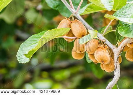 Ripe Kiwi Fruit In The Canopy Of A Tree On A Plantation.