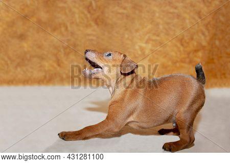 A Mini Pinscher Puppy Stands Sideways On A Light Background. A Lovely Playful Puppy. The Little Dog