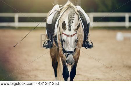 Equestrian Sport. Portrait Sports Stallion In The Double Bridle. Pigtails On Neck Sports Horse. The