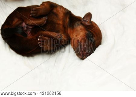 A Newborn Dog. A Small Puppy On A White Background. One Puppy Is Lying Down. Purebred Puppy. Mini Pi