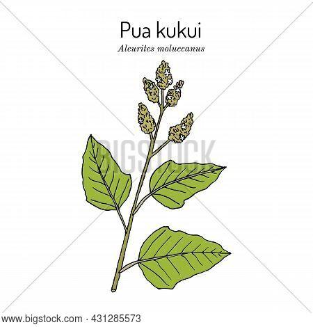 Pua Kukui White Blossom Of The Candlenut Tree Aleurites Moluccana , Hawaii Island Of Molokai Officia
