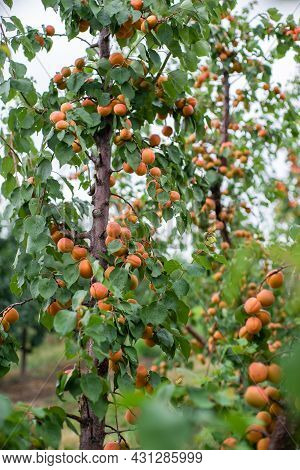 many apricot fruits on a tree in the garden on a bright summer day. Organic fruits. Healthy food. Ri