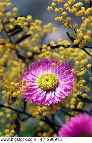 Australian Native Pink Everlasting Daisy, Rhodanthe Chlorocephala, Amongst Yellow Wattle Flowers. Al