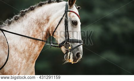 Portrait Of A Beautiful Dappled Gray Horse With A Braided Mane And A Bridle On Its Muzzle, Which Jum