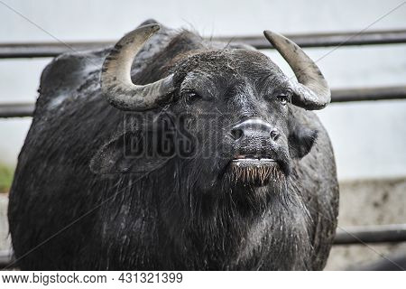 A Lone Bull Buffalo With Big Curved Horns.