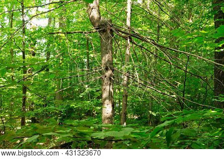 Withered Tree Trunk With A Withered Branch In A Green Spring Flowering Green Leaf Forest.a Withered