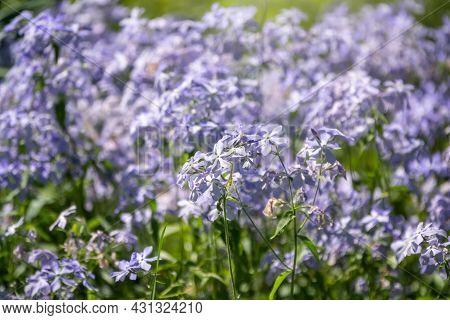 Wild Blue Phlox Flowers, Phlox Divaricata In Spring Garden. 'blue Moon' Flowers, Wild Sweet William