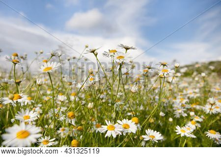 Flowers Field Daisies In The Meadow In Sunny Weather In The Summer. Field Daisies Bloom In Summer.