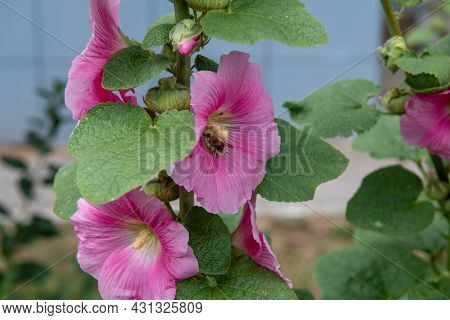 Bright Pink Mallow Blooms With A Bee