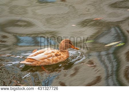 Yellow Colored Mallard Female Duck Swims In The Pond. Animal Polymorphism
